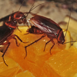 main_cockroaches-on-fruit