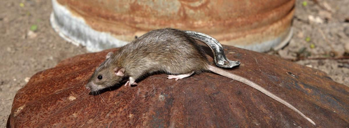 main_rat-on-dustbin