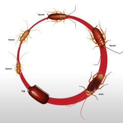 american-cockroach-lifecycle_1185x889